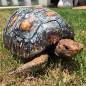 Fred the tortoise with his new shell