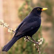 A Billy-ish Blackbird